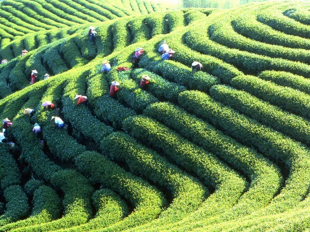 Alishan-High-Mountain-Tea#04