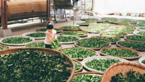 Alishan-High-Mountain-Tea#01