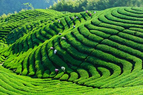taiwan tea